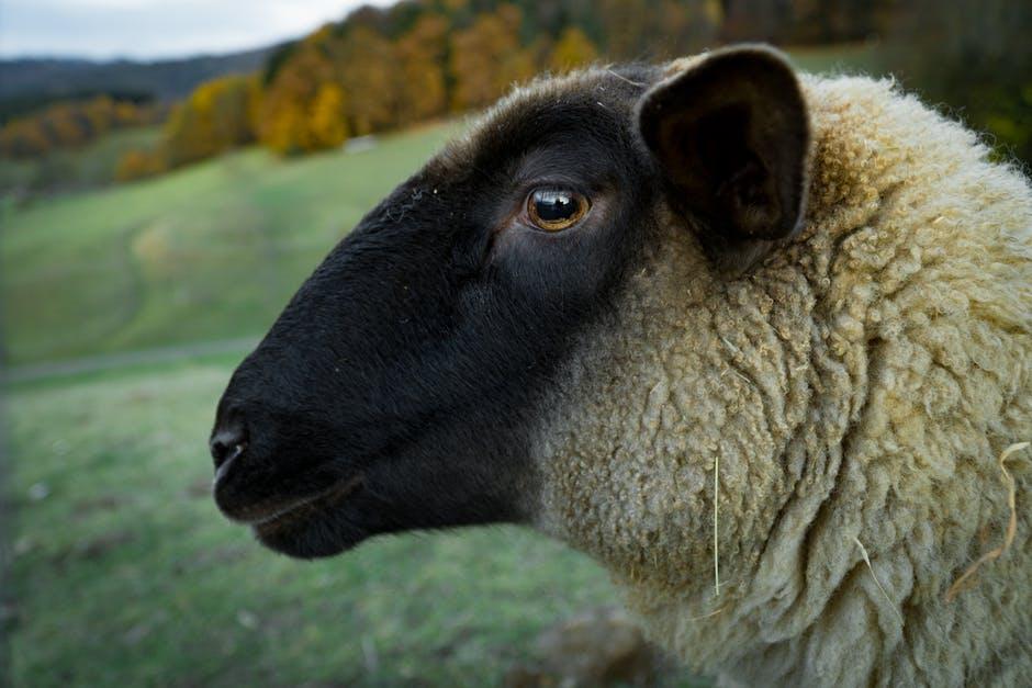 باقة مختارة اجمل خروف بجودة