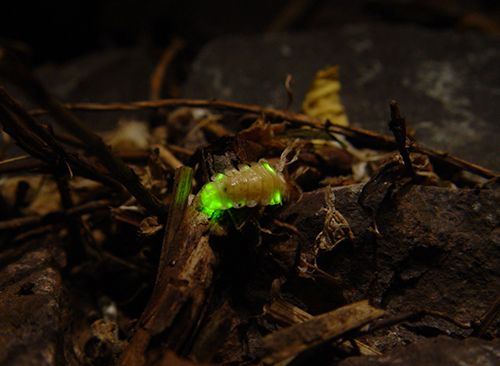 الحشرات المضيئة 155283546422.jpg